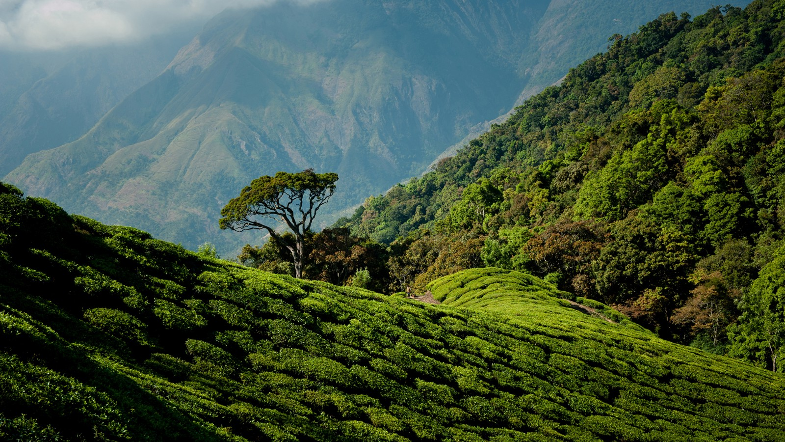Tea plantations of Munnar, India