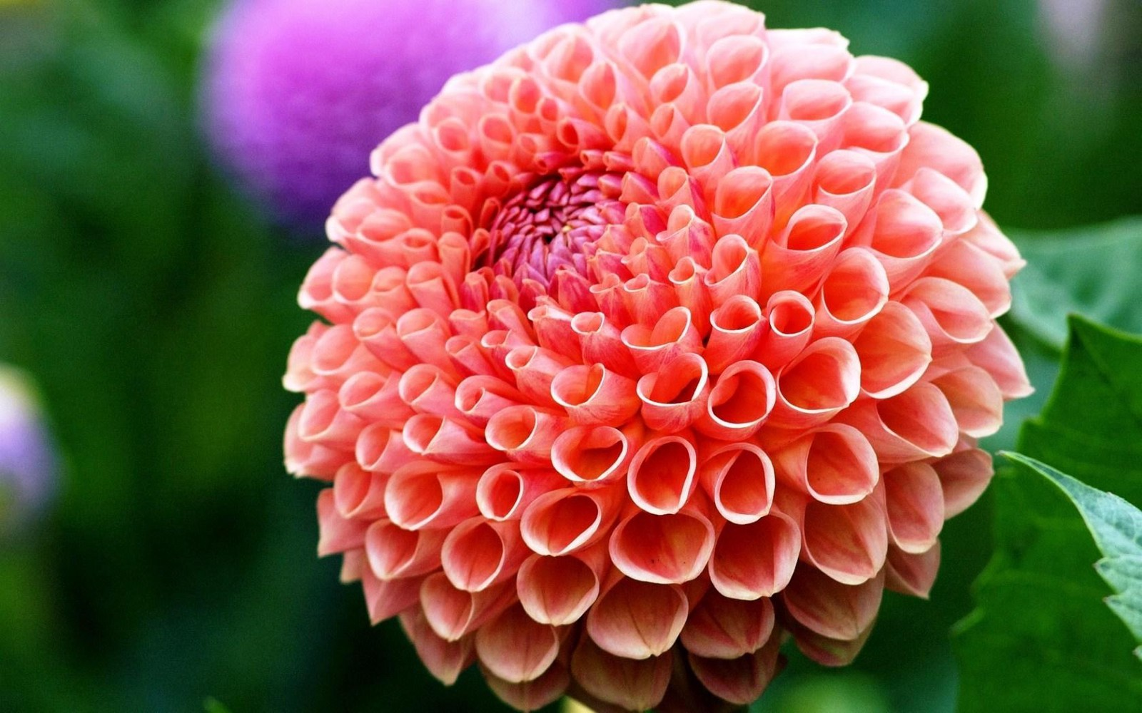 How to use dahlia flowers whole blossoms medium keep your oversized dahlia in the middle and arrange all your other flowers and greeneries around it this stunning bouquet can be used as your bridal izmirmasajfo