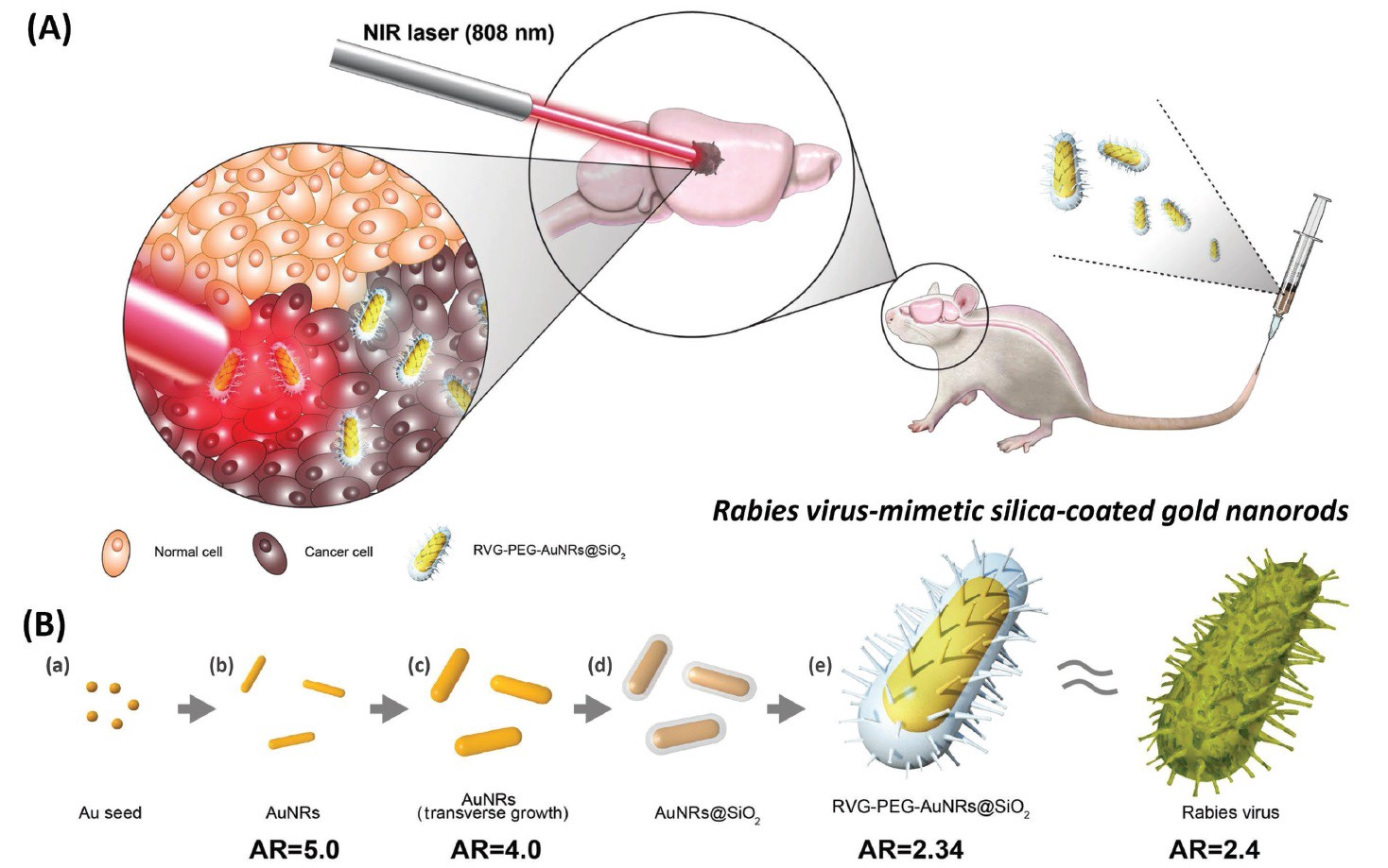 the rabies virus and treatment essay Rabies affects mammals (including humans), attacking the brain and causing severe inflammation without treatment, it may be fatal in nearly all cases of rabies, the virus that causes it is transmitted through the saliva of.