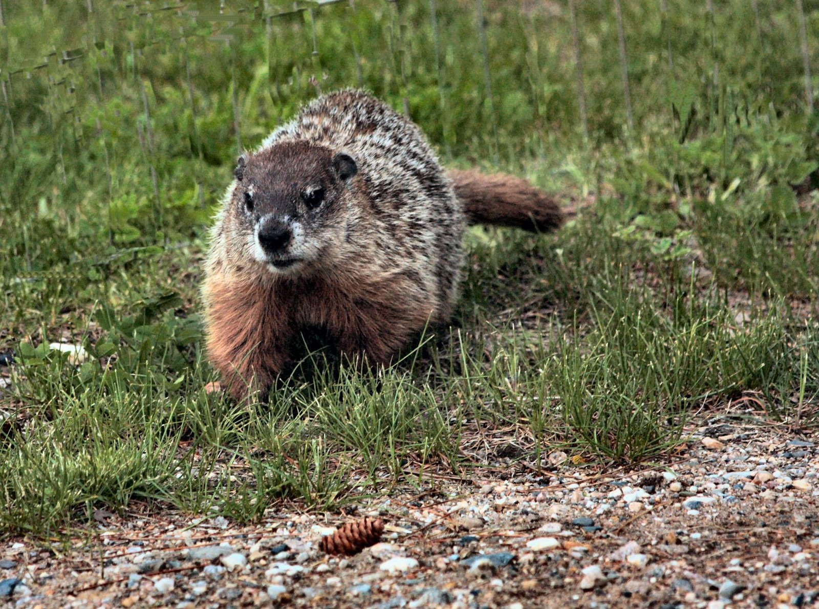 fun facts about groundhogs united states fish and wildlife service