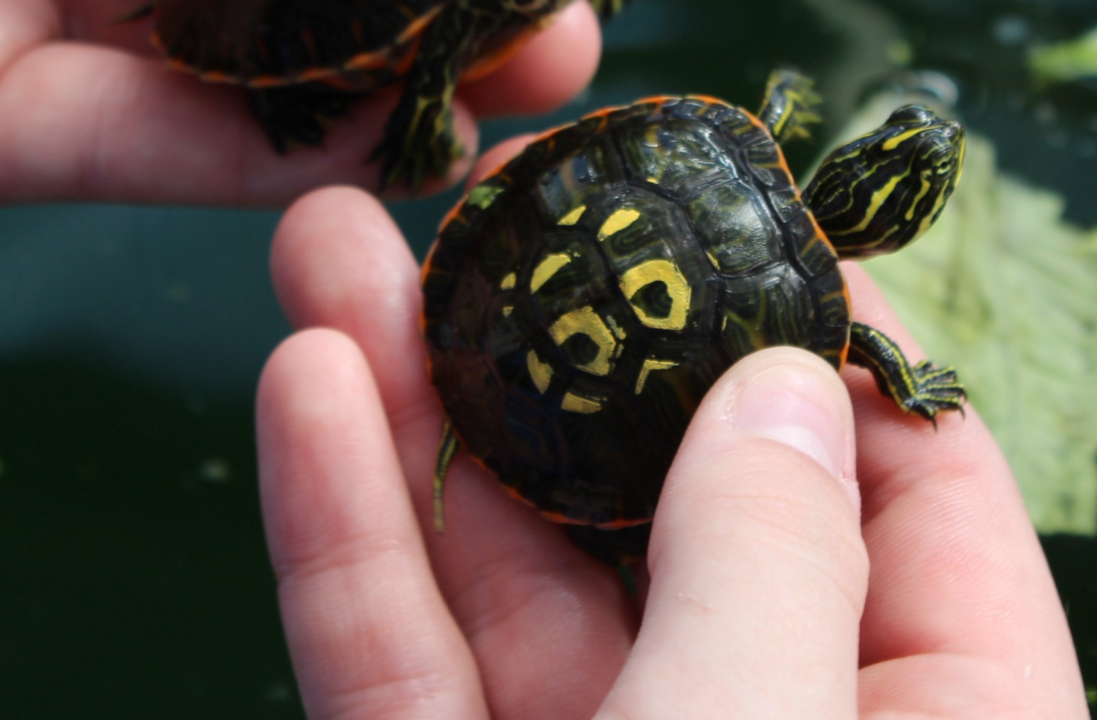 a small turtle held in a hand