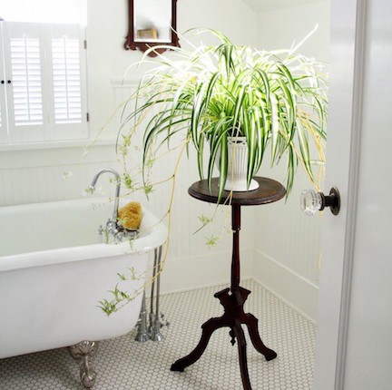 The Spider Plant Is Rated By Nasa S Clean Air Study As One Of Top 3 Plants For Removing Formaldehyde And Other Toxins It Grows Very Quickly Sprouts