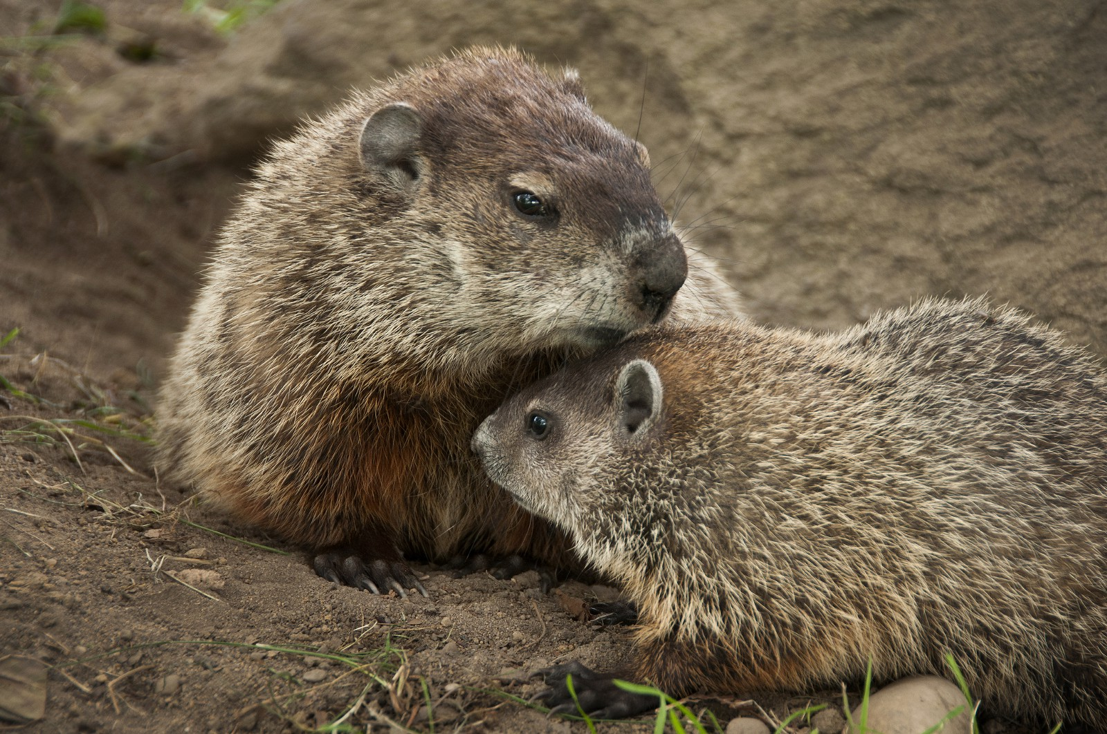 how to get of groundhogs
