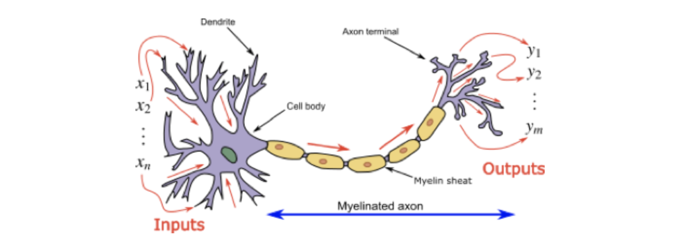 brain cells similarity with neurons