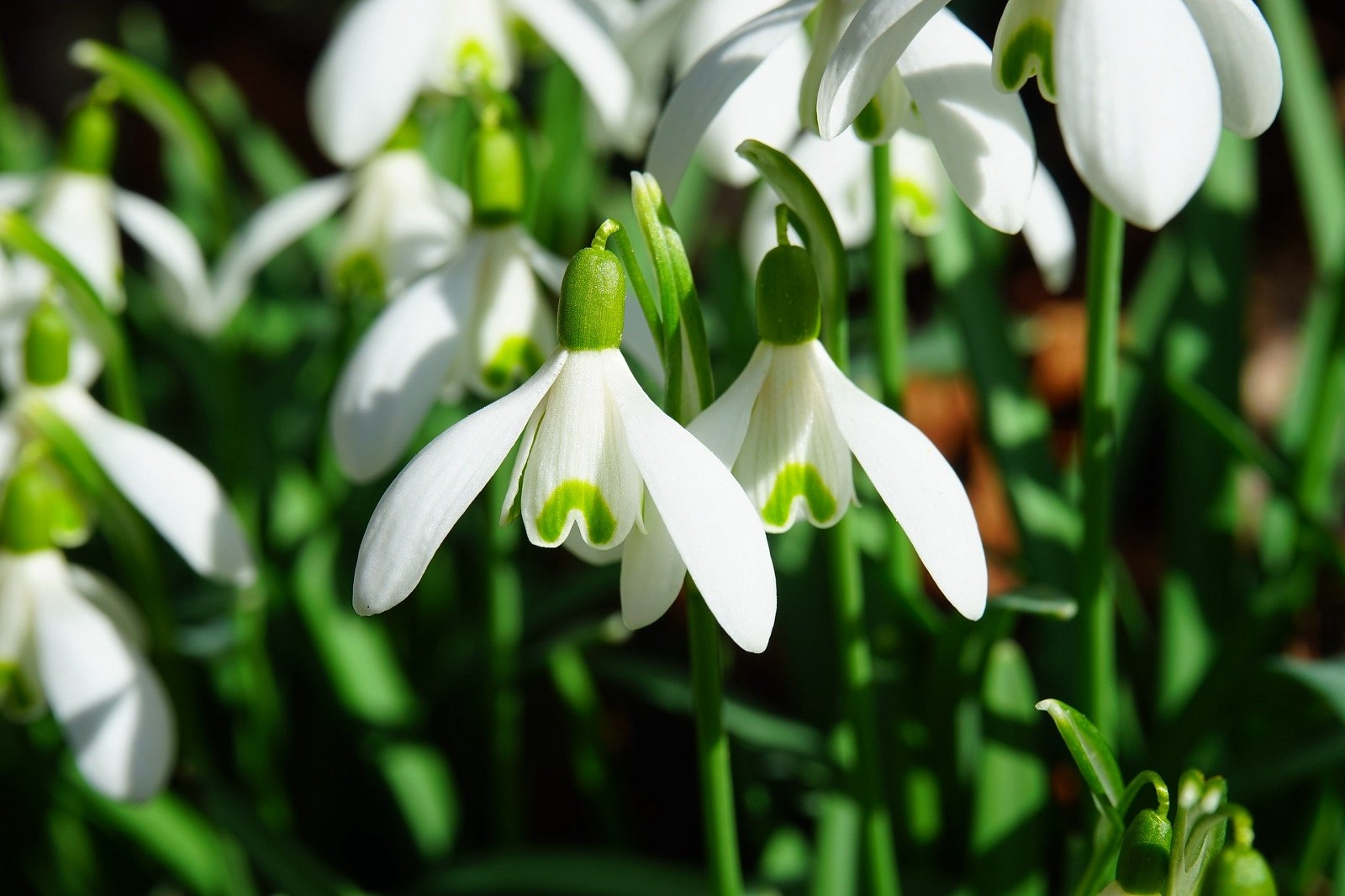 Snowdrops symbolise hope and anticipation of Summer