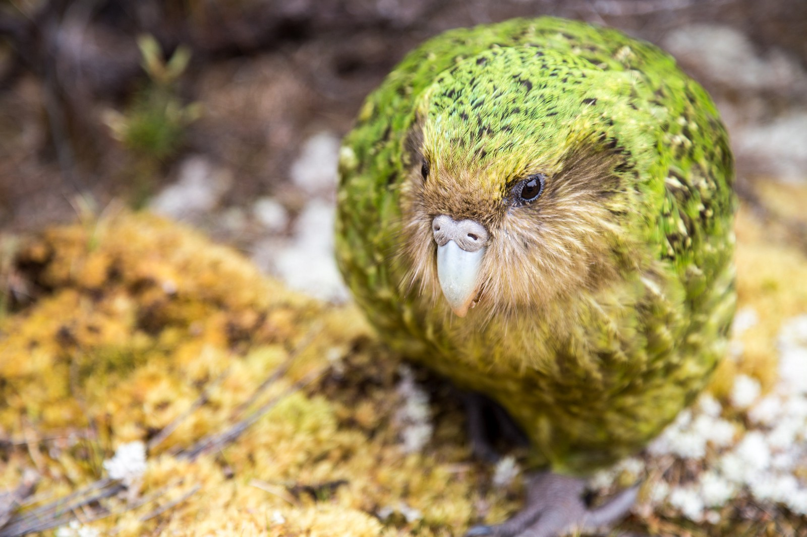 meet the world s only flightless parrot with street view and google