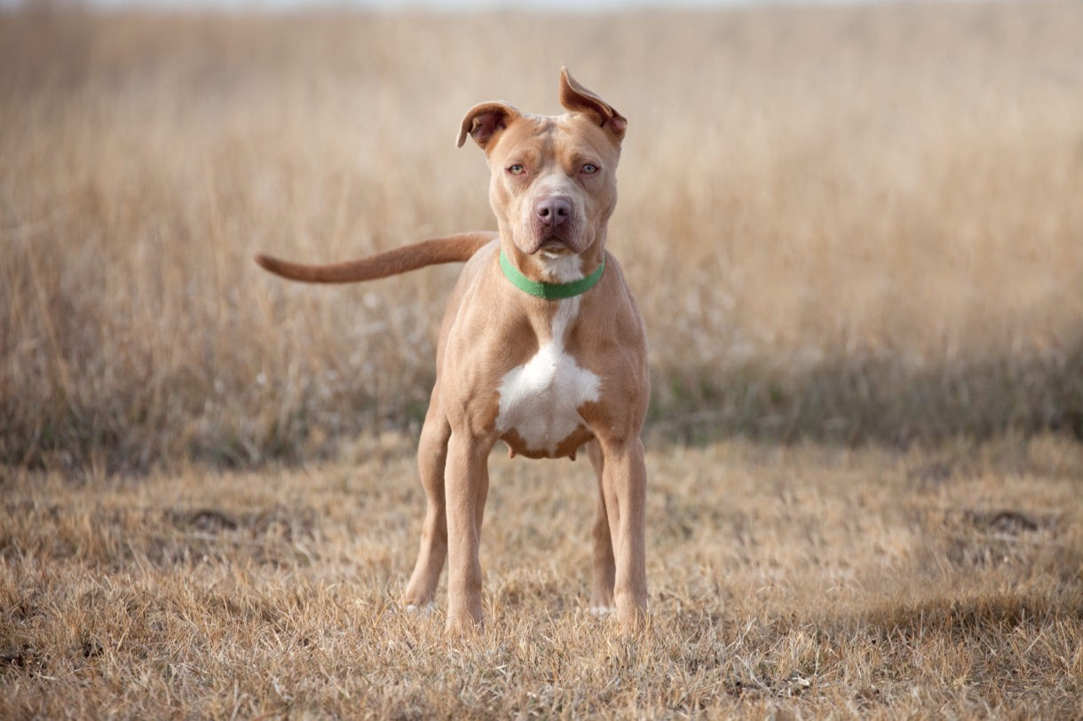 Reasons Why You Should Consider Adopting A Pitbull Puppy