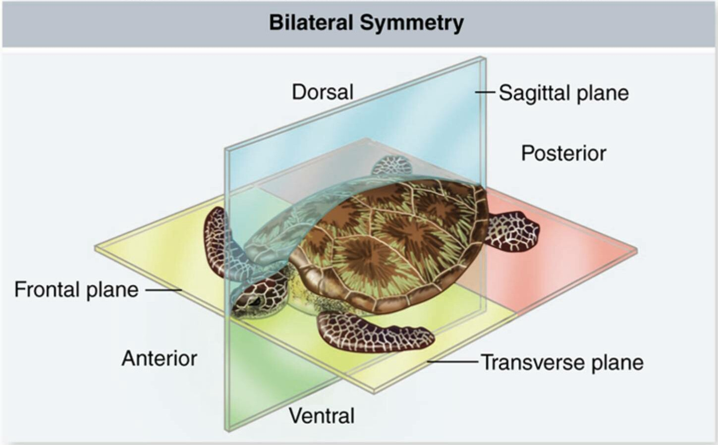 what it means to be bilaterally symmetrical � nick nielsen
