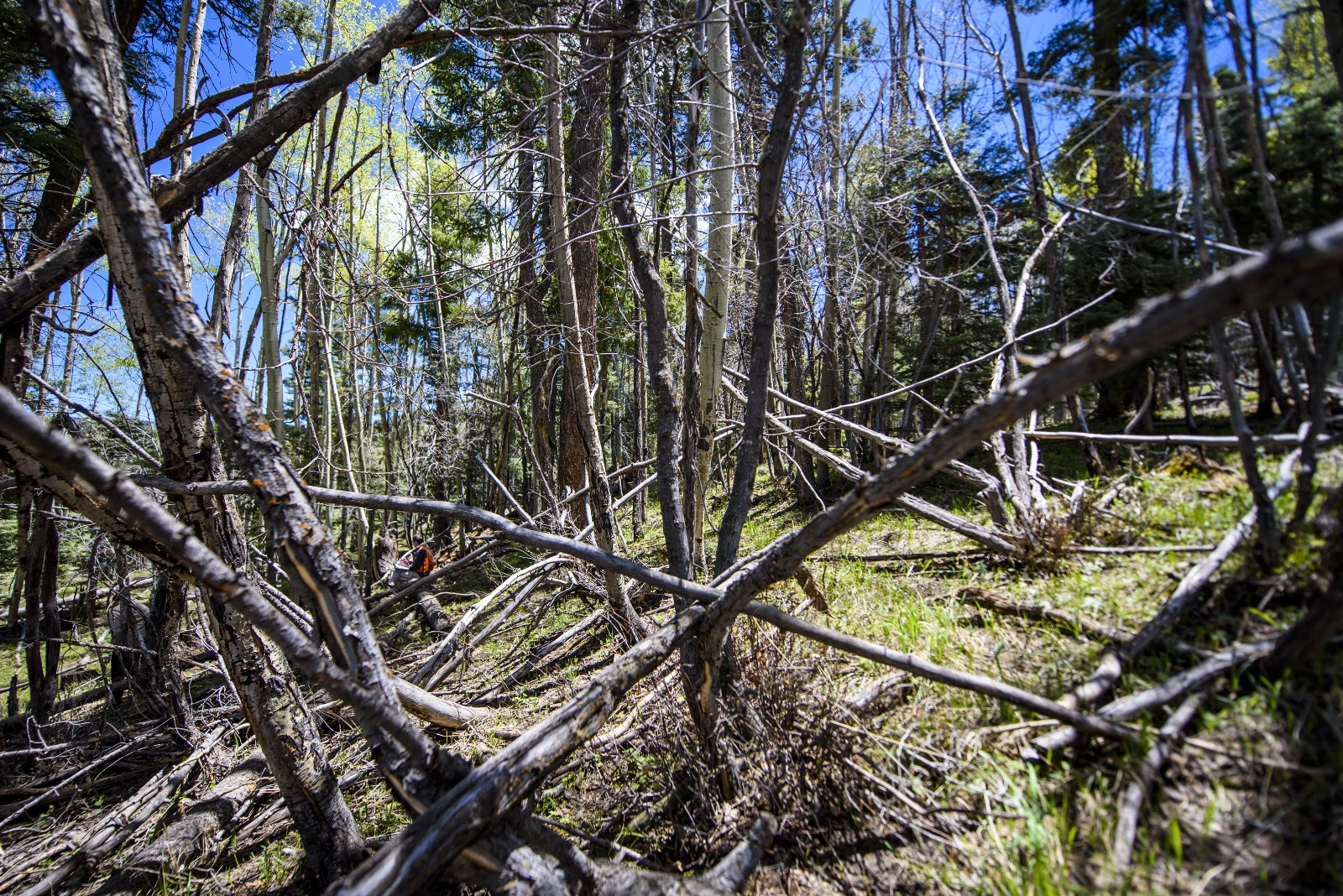 Abnormally fallen trees discovered in the forest of the Chelyabinsk region