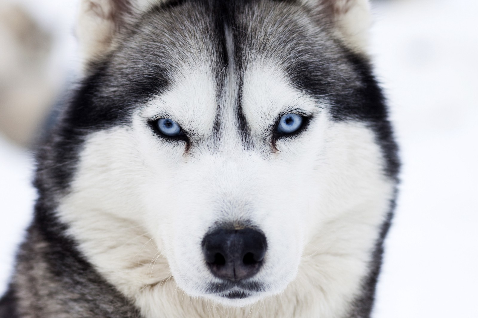 Lets Just Get This Out Of The Way Siberian Huskies Are Gorgeous Dogs That Wolfish Appearance Their White Coat Accessorized By Red Black Sable