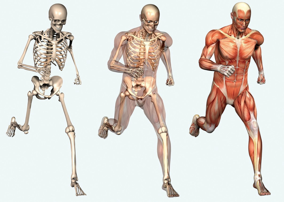 Human Skeleton Anatomy 10 Facts About The Human Skeleton