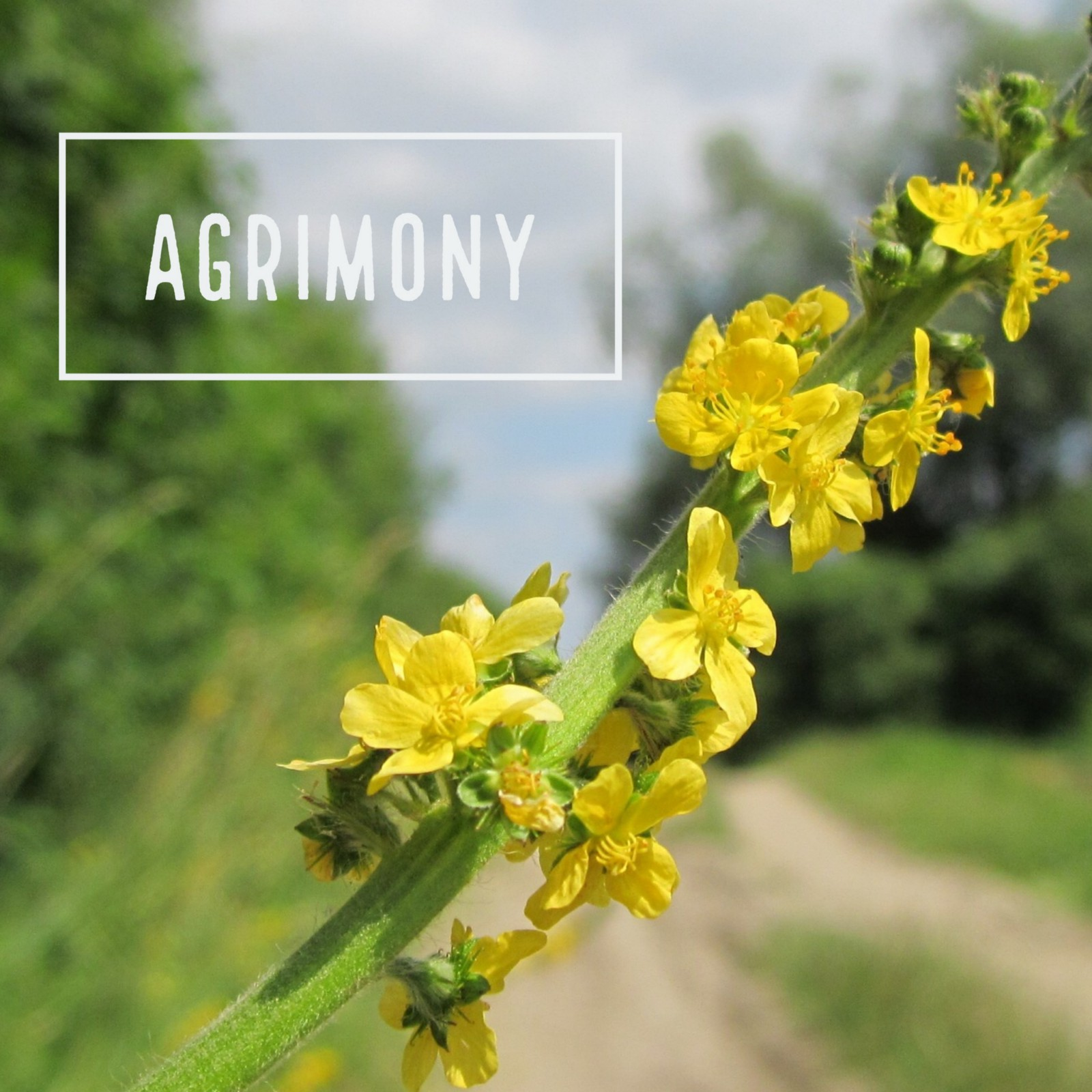 Agrimony Flower Essence For People Who Are Hypersensitive To
