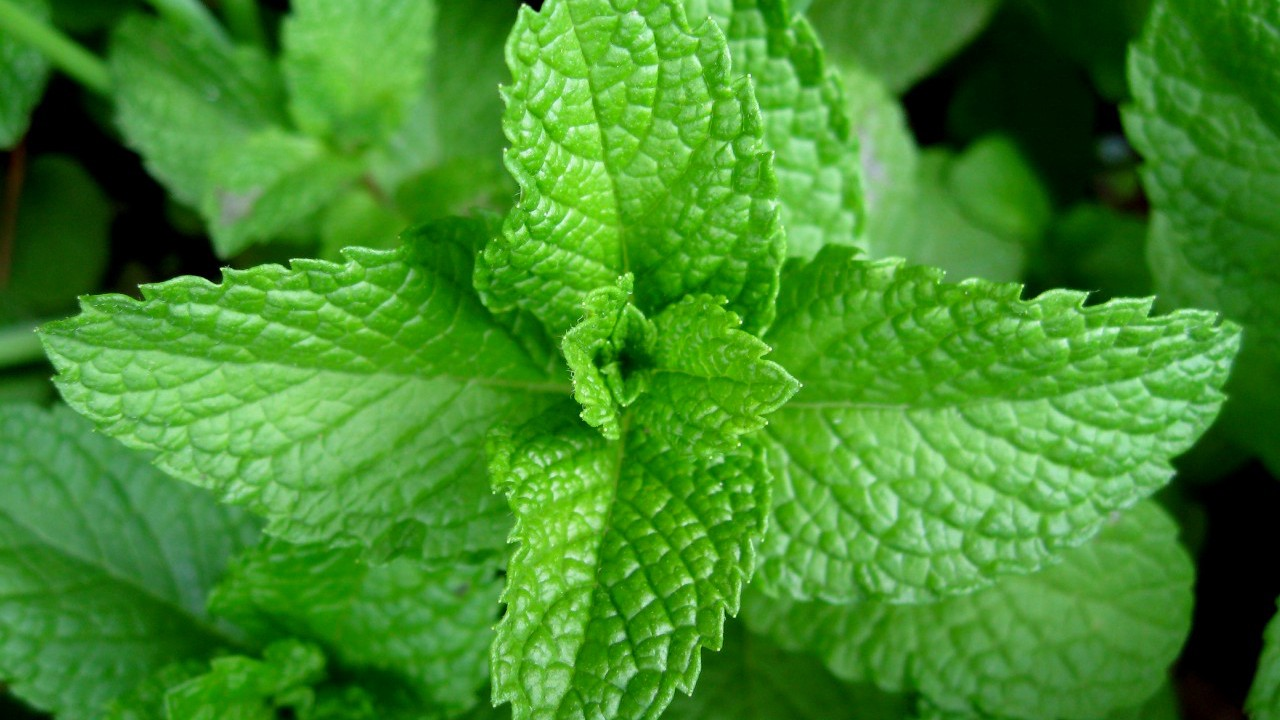 what is mint the philipendium medium