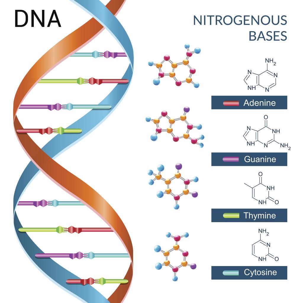Biology codeparticles medium it is essentially a long string of letters organized as a double helix of base pairs of the 4 nucleotides adenine guanine cytosine and thymine solutioingenieria Choice Image