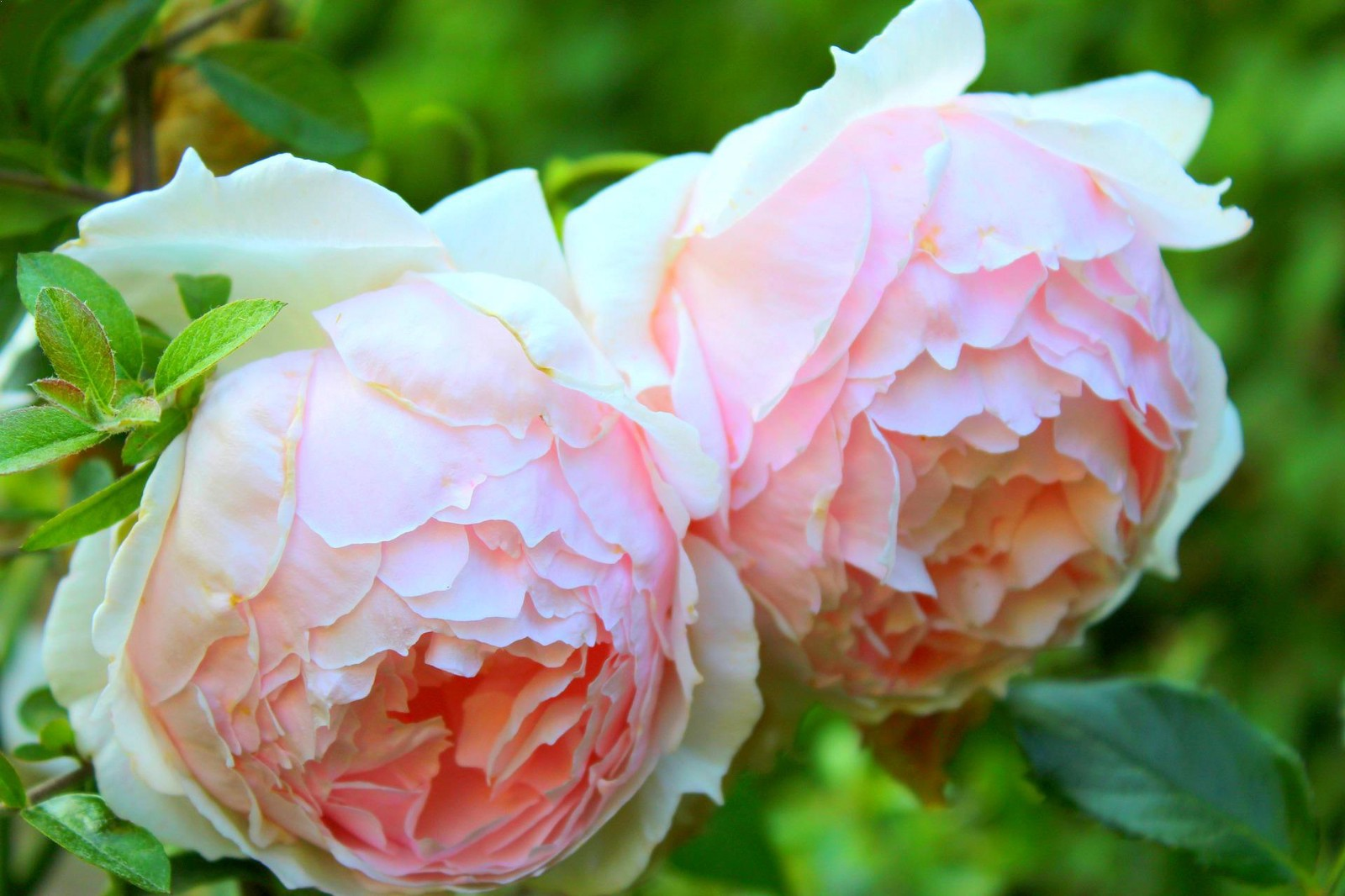 What is the most beautiful roses for your garden utsav singh medium it was discovered by david austin and hence the name it has one of the most beautiful and largest fragrance among all roses that last for 3 to 4 days izmirmasajfo