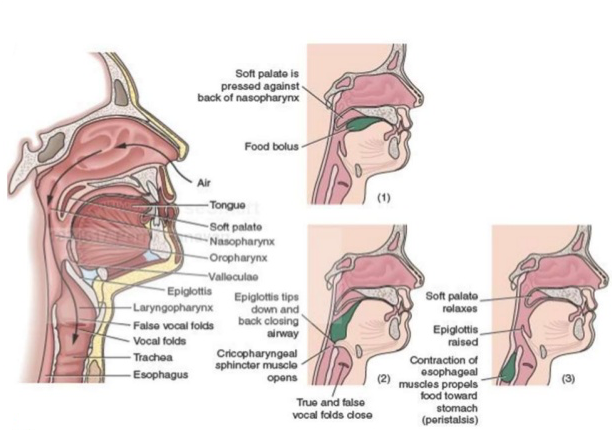 Nutrition and digestion — Mouth, pharynx and esophagus