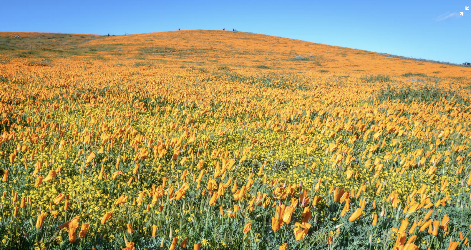 TBI's 5 Best: Views of the California Poppy Blooms