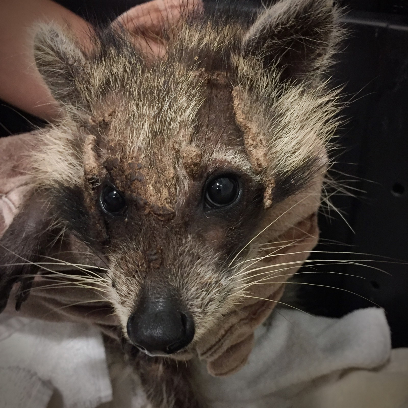Raccoon admitted with severe mange – A week inside the von ... Raccoon With Mange