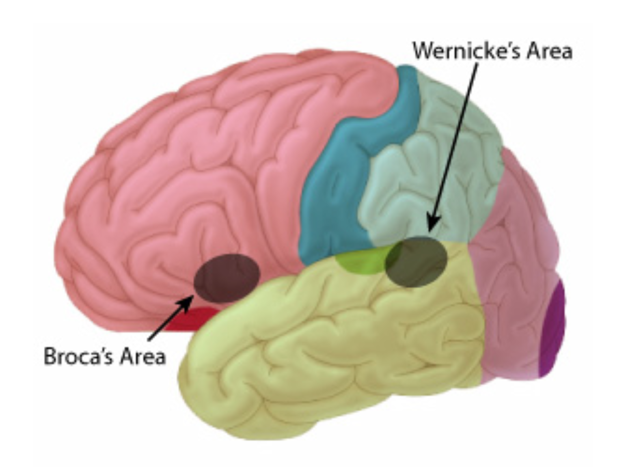 broca and wernicke Broca's and wernicke's areas, and by illustrating the difficulty integrating the emerging literature on perisylvian white matter connectivity into this model, we hope to expose the limits of the model, argue for its obsolescence, and suggest a.