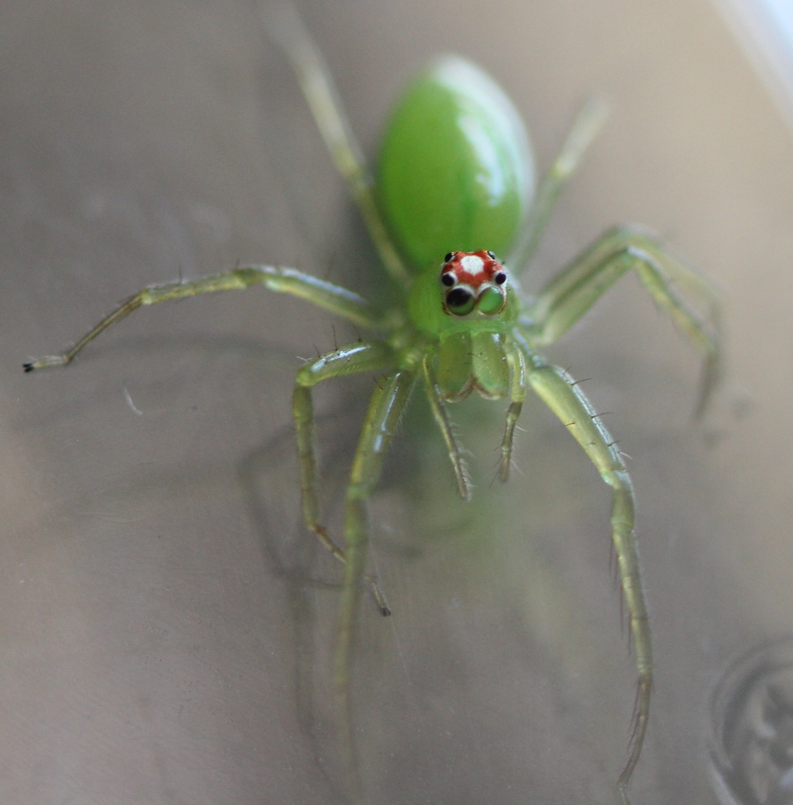 how i ended up with pet jumping spiders u2013 melissa mcewen u2013 medium