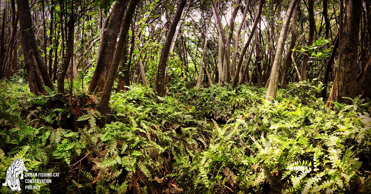 Underbrush In Owen Park Is So Dense Its >> Out Of Sight Out Of Mind Asia S Elusive Fishing Cat In Trouble