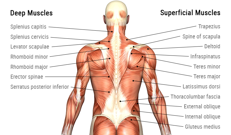 Back muscle anatomy – giorgio angioni – Medium
