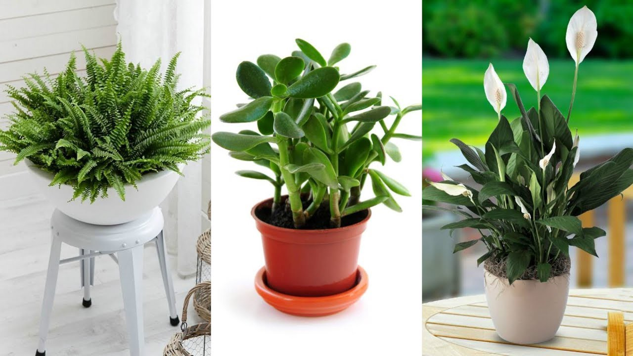 Why Lucky Plants Are Lucky For Me Paudhewala Medium