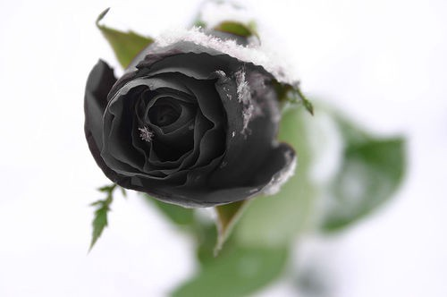 What do flowers symbolise john atkinson medium black roses are pretty eccentric gifts and some might consider them beautiful and they are but it is not considered a good sign to give a black rose mightylinksfo