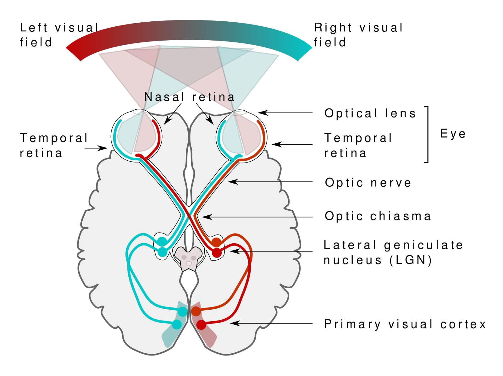 An Intuitive Guide To Convolutional Neural Networks Read More About Cat 5 Wiring Diagram Images Source Here Https Commonswikimediaorg Wiki Filehuman Visual Pathwaysvg