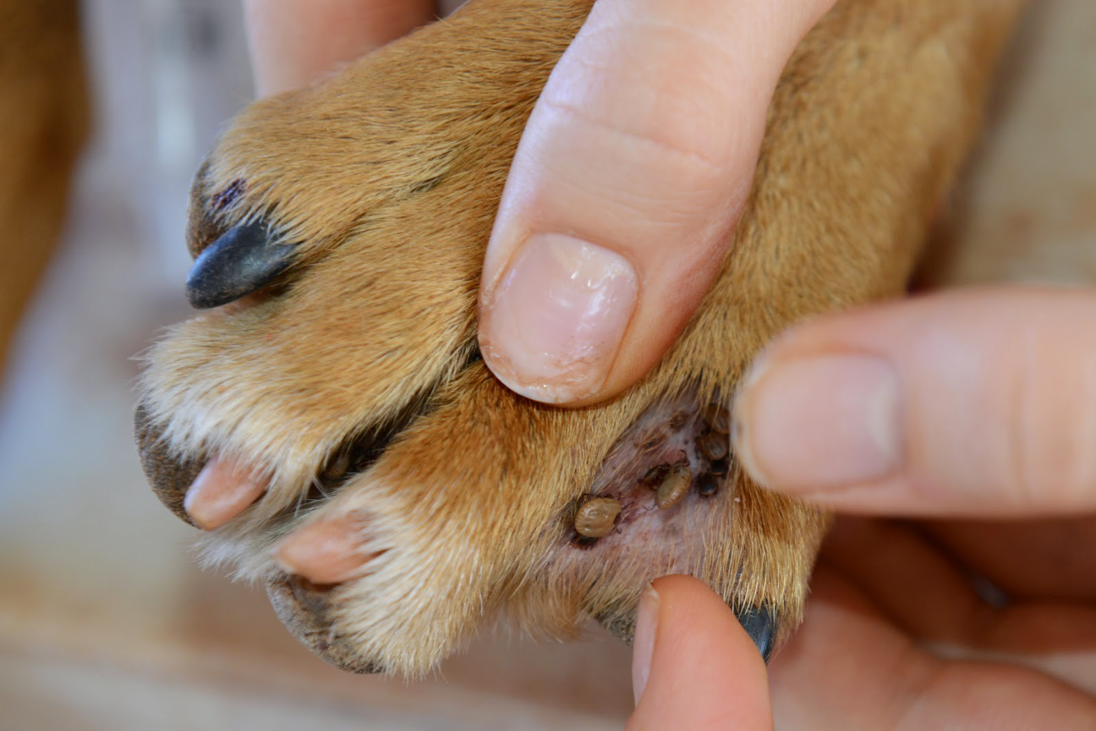 Bug Bite On Dog Paw