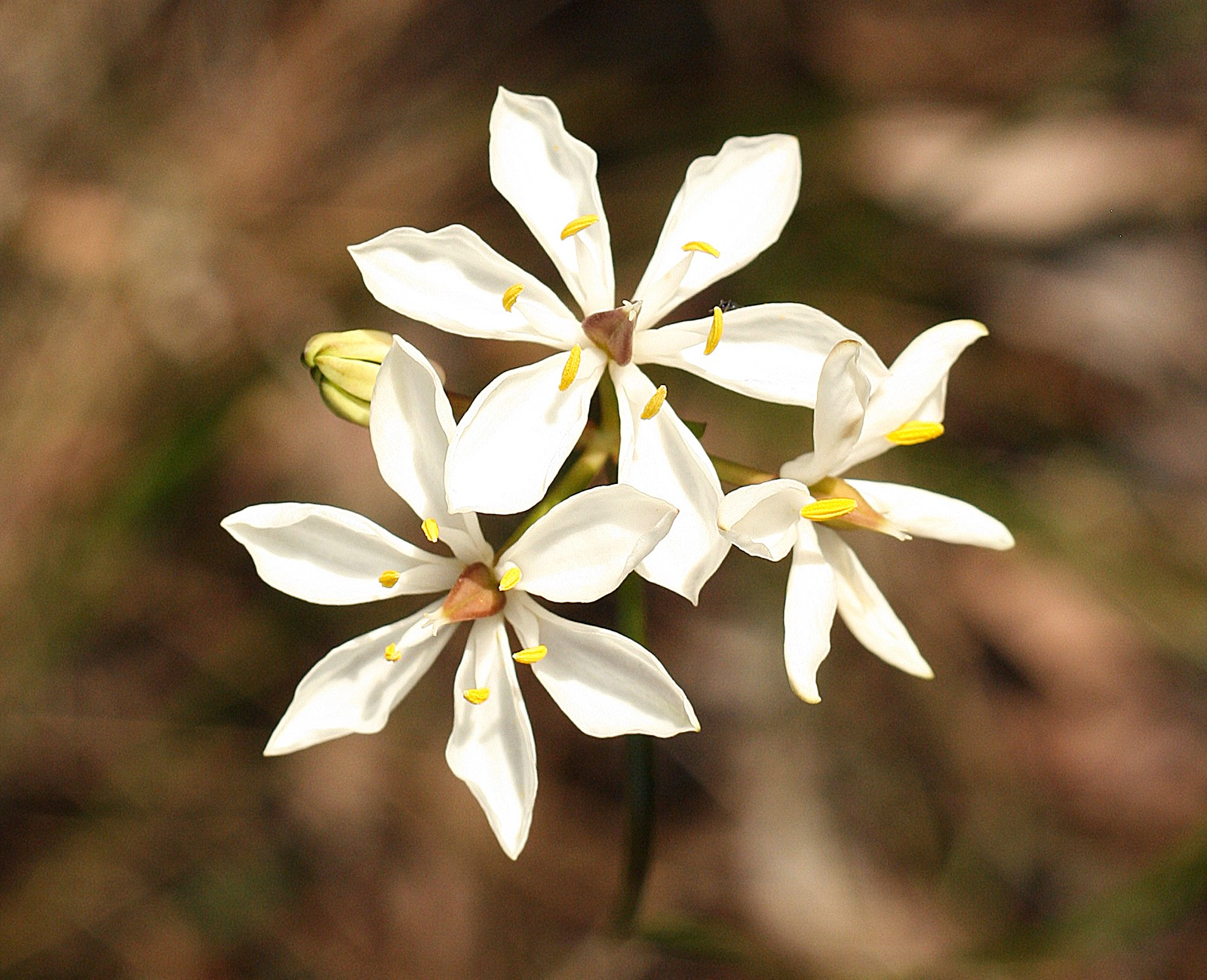 25 Beautiful Australian Wildflowers The Philipendium Medium