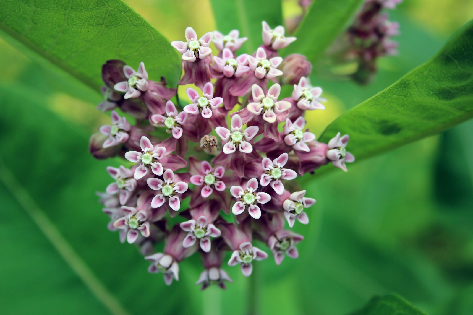 Milkweed >> Spreading Milkweed Not Myths Updates From The U S Fish And