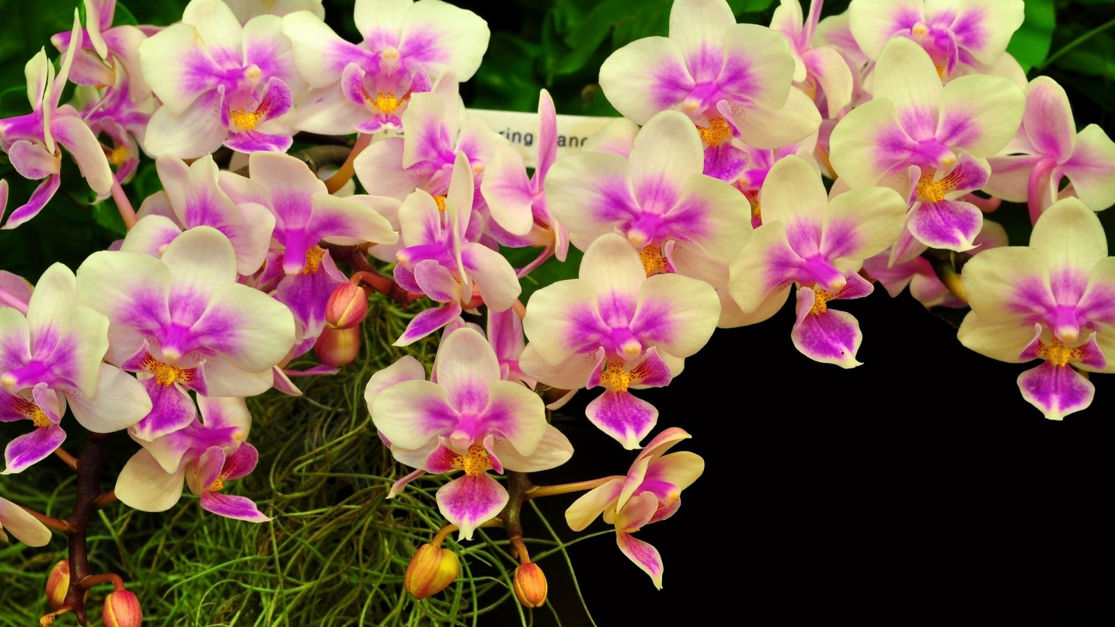 How to use orchid flowers – whole blossoms – Medium