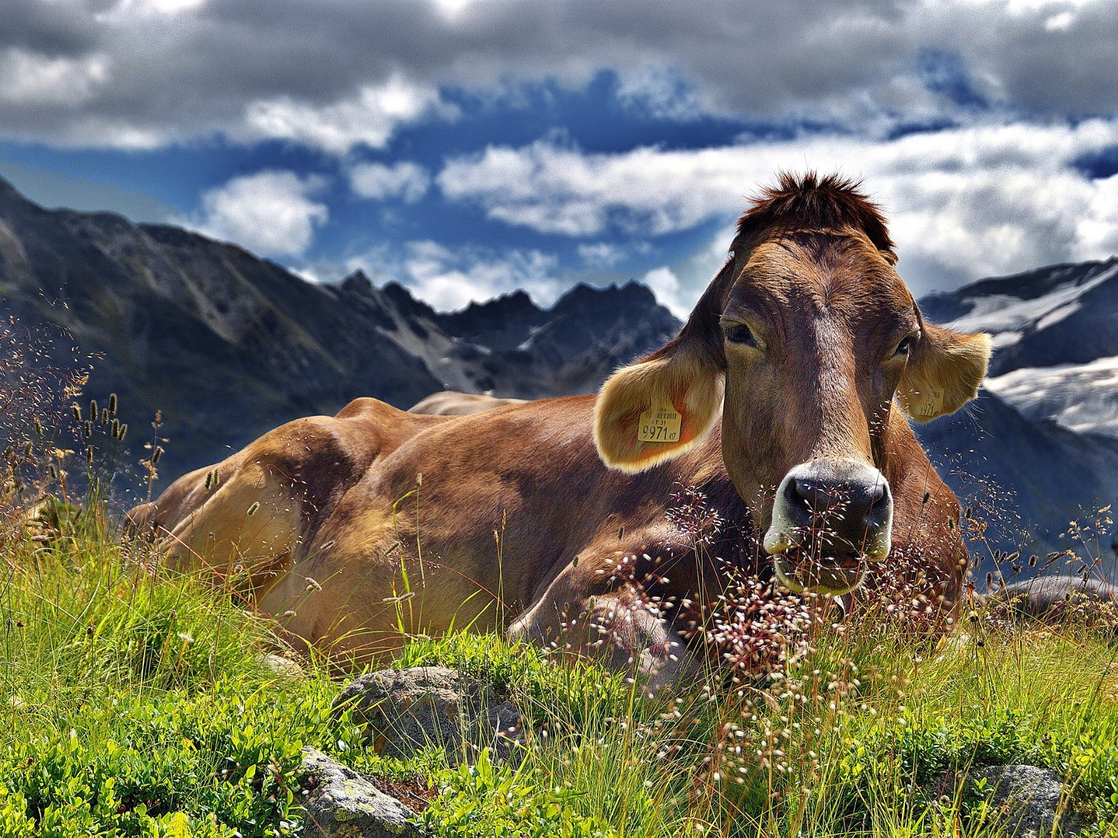 A lazy cow
