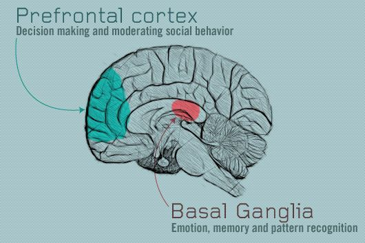 the basal ganglia prefrontal cortex using both in the law of
