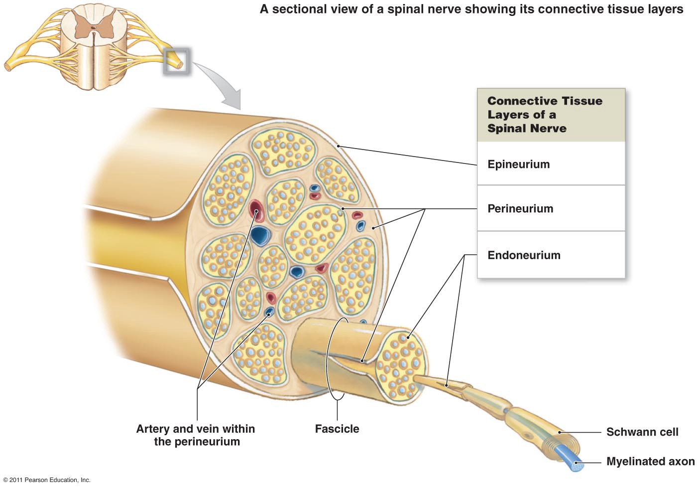 symptoms and causes of cubital tunnel syndrome peripheral nerves! Spinal Column Diagram