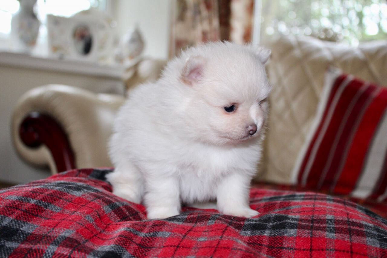 How Toy Pomeranian For Sale In Usa And Canada Can Be Bought With