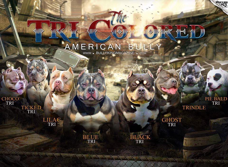 The Many Colors Of The American Bully Bully King Magazine Medium