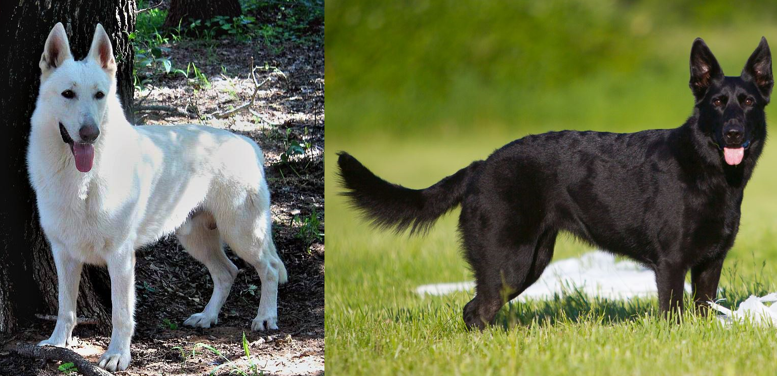 Our example dogs mancos male white gsd and bailey female black gsd