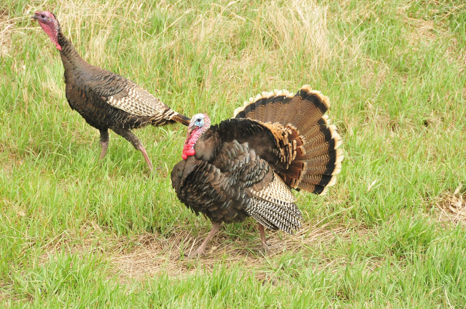 Wild facts about that thanksgiving bird fish and wildlife a merriams turkey gobbler struts for a hen in the sand lake wmd photo credit tom koernerusfws sciox Image collections