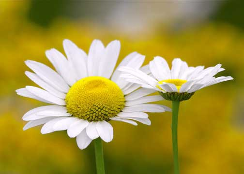 What do flowers symbolise john atkinson medium daisies are small white flowers which open during the day and close at night their name originates from the anglo saxon daes eage or days eye mightylinksfo