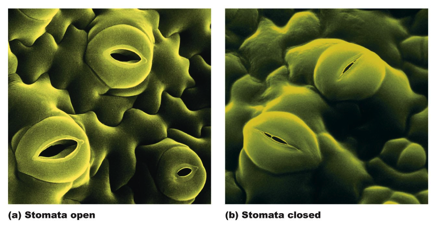 to verify stomata by a experiment Stomata are tiny pores found on the epidermis of the leaf, surrounded by guard cells [1] their main function is gas exchange [1] for photosynthesis and respiration the development of stomata on the leaves of a plant is determined by interaction between different genes and environmental factors.