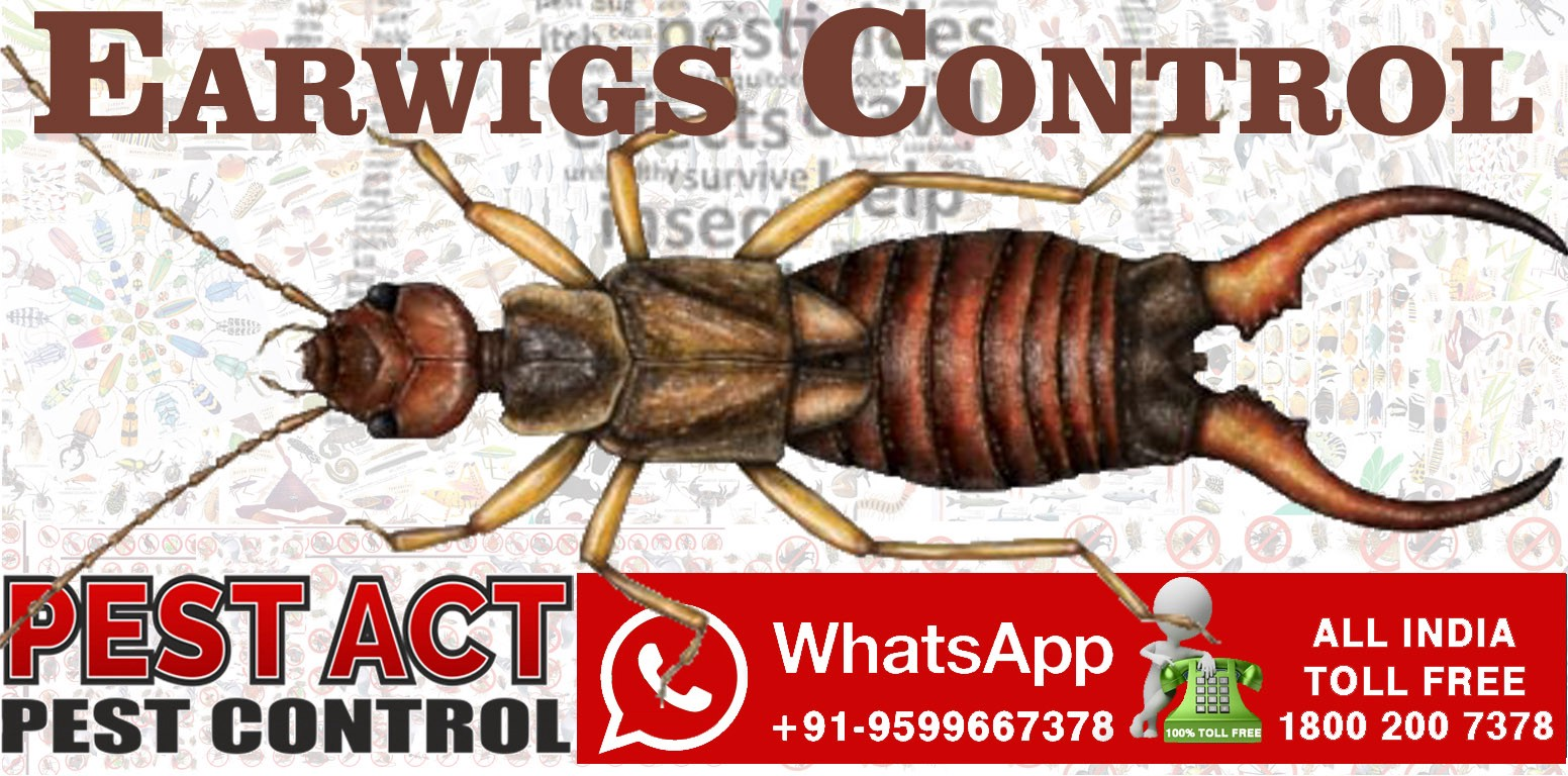 Earwigs will enter your brain through your ear or nose and kill you while you sleep?