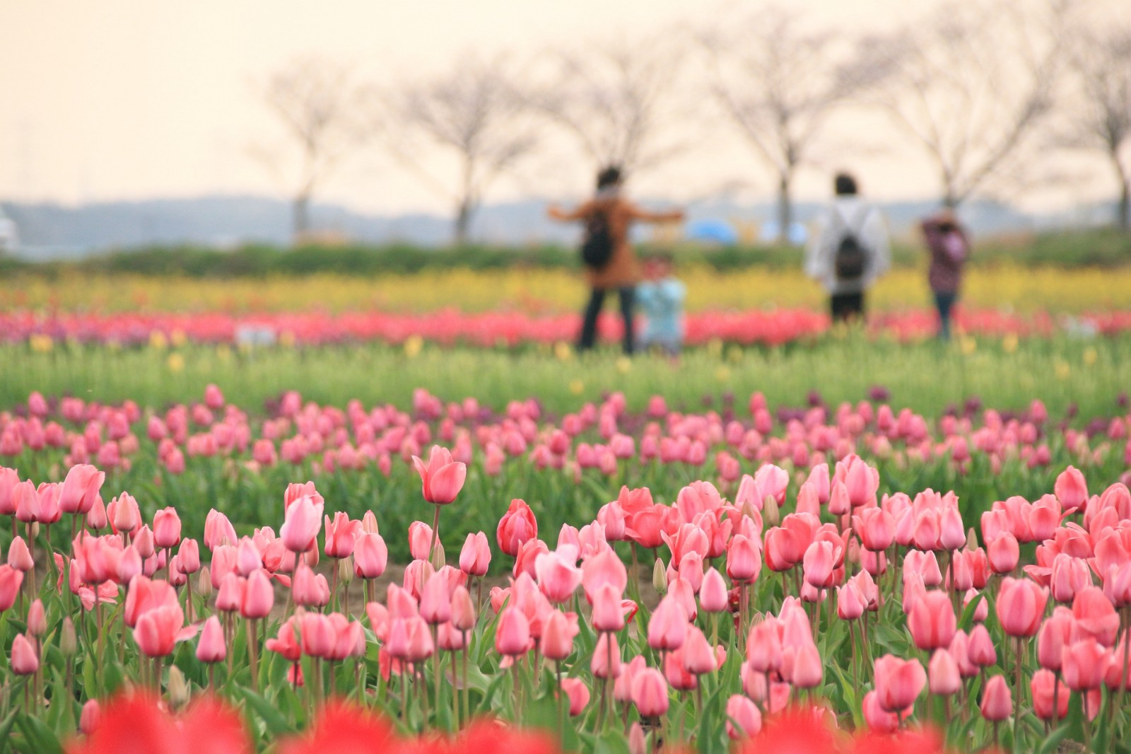 Sakura Tulip Festa 2019 Japan Travel Guide Jw Web Magazine