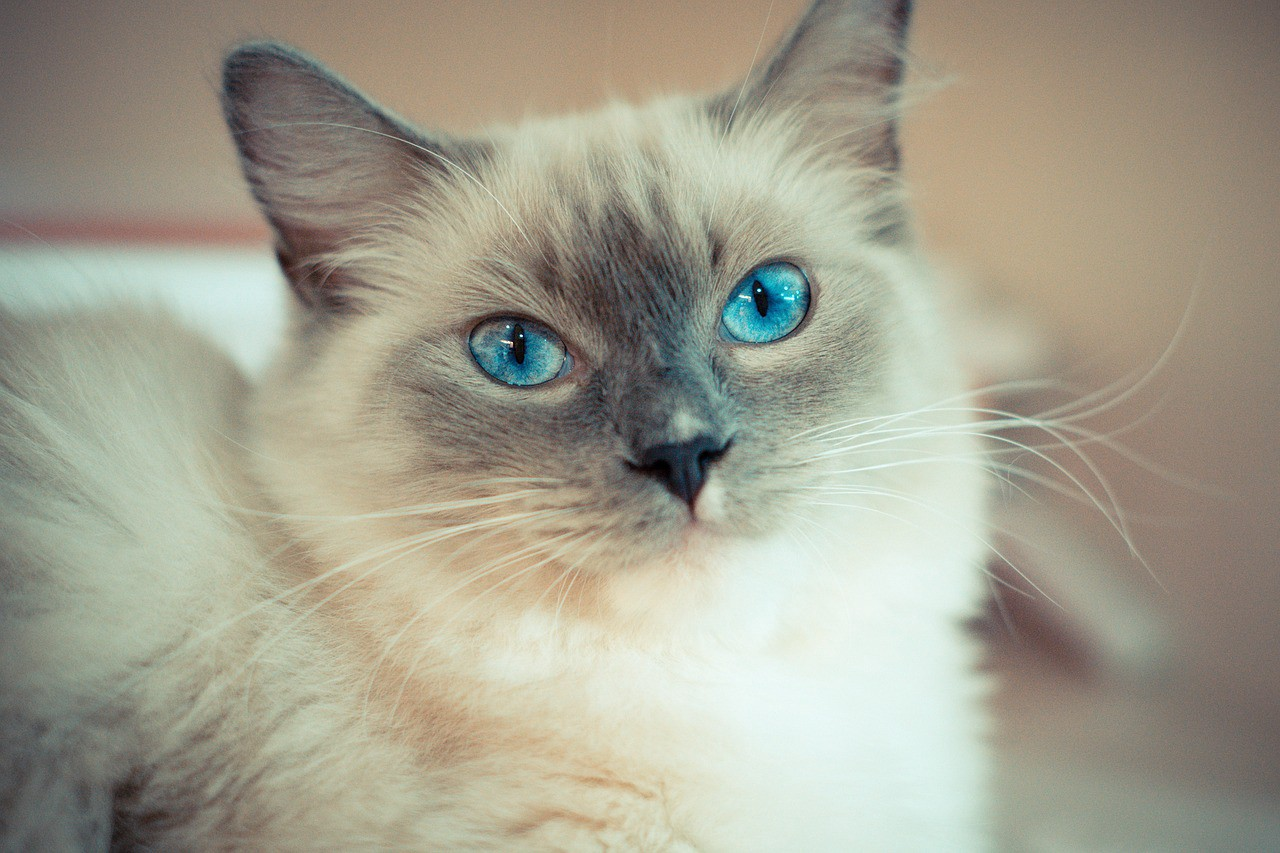 Ragdoll Cats Kittens For Sale - m