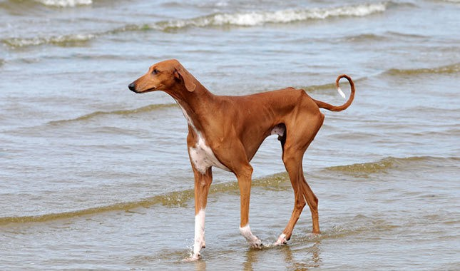 This Dog Is An African Breed Very Few Breeds Sell In The US And Canada Belongs To Nomadic Tribes Africa Bred