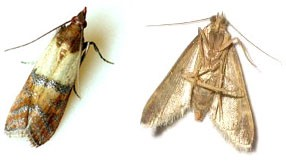 Pantry (a.k.a. Indian Meal) Moth Vs. Clothing Moth.
