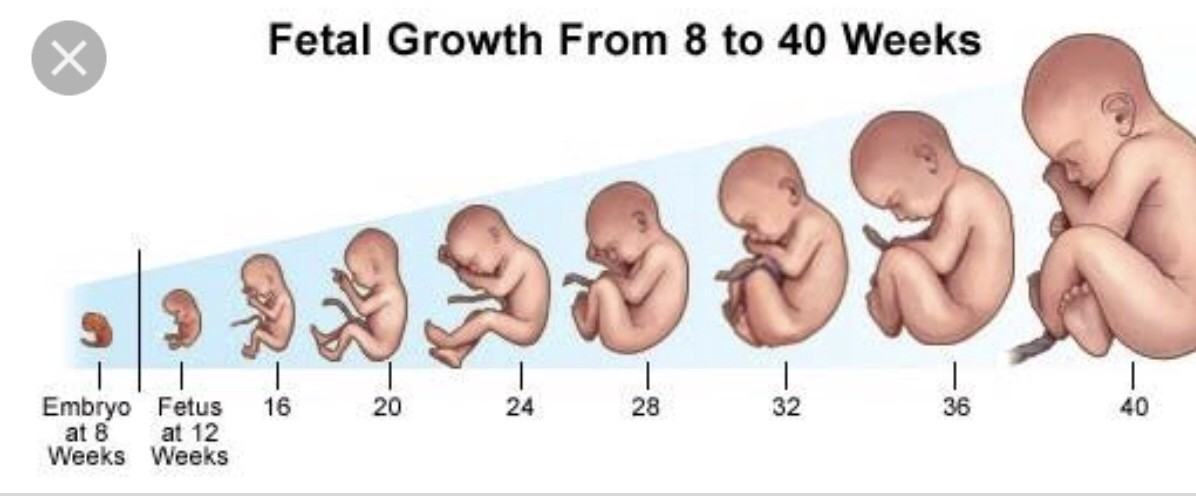STAGES OF PREGNANCY TODAY SCIENCE Medium
