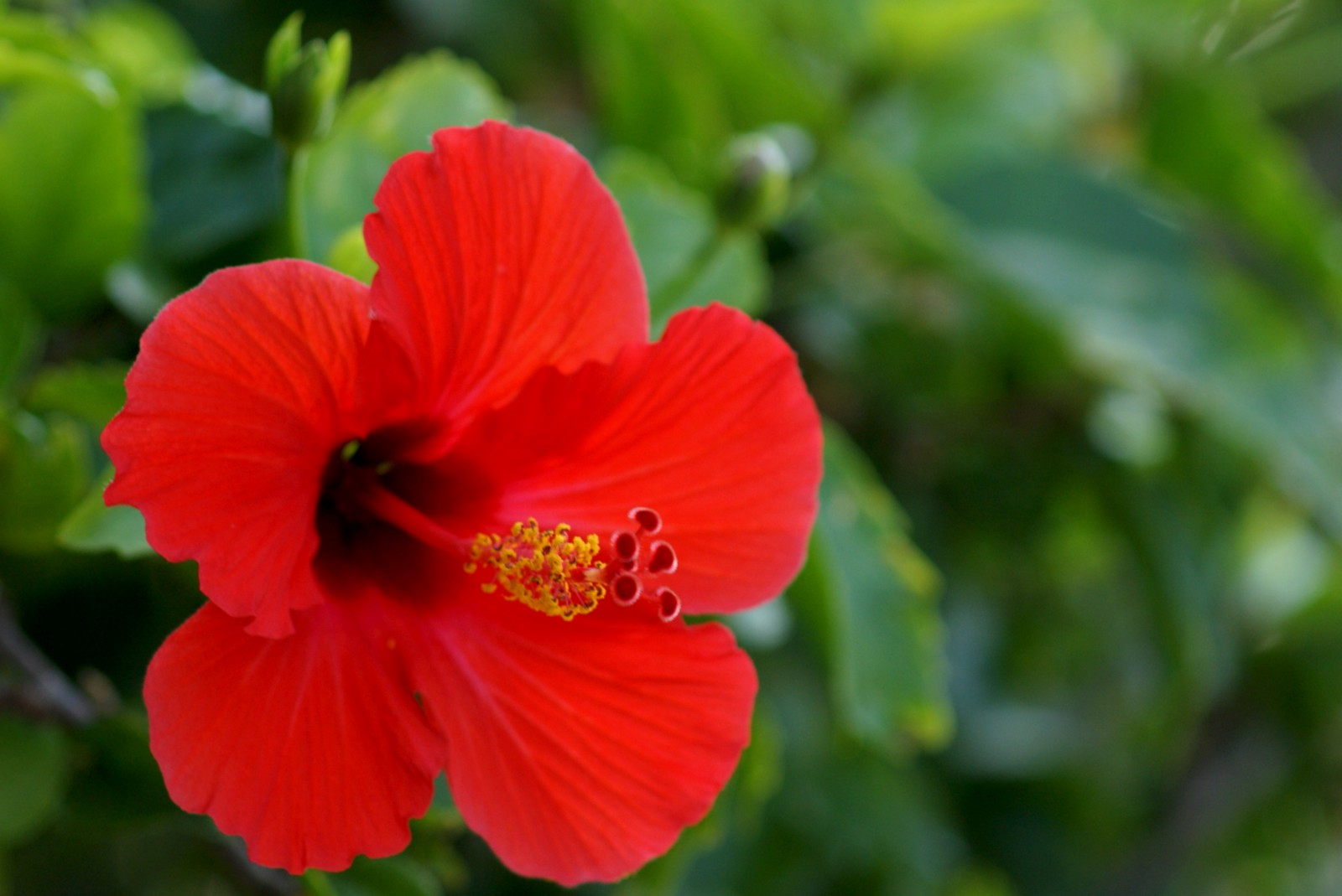 How Hibiscus Flower Is Useful For Health Tonia Medium