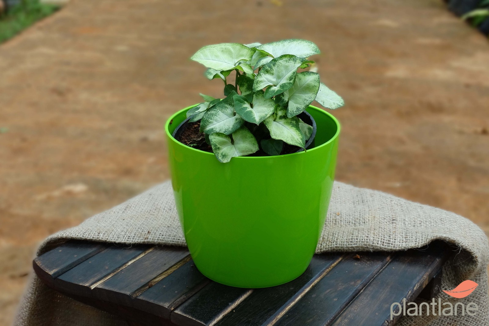 Beginner\'s guide to buy indoor plants online in Bangalore